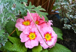 Garden Primrose.
