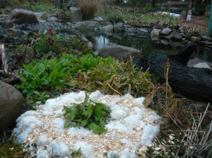 Ligularia pond