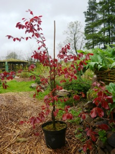 woodland beech