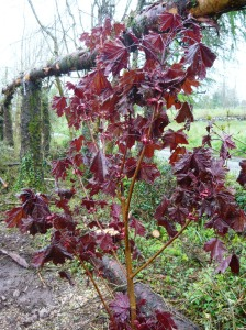 woodland maple