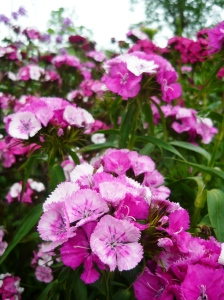 circle june sweet william