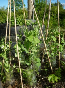 kitchen garden veg 011