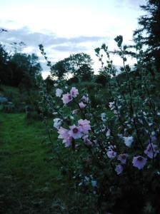 garden july mallow
