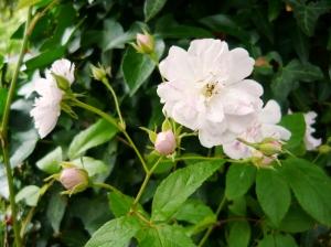 roses himalayan's musk