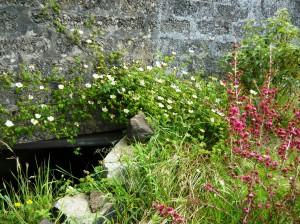 rose by stream