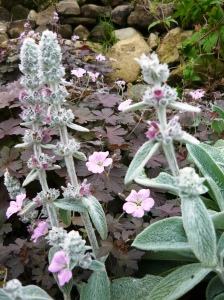 Lambs ear and geranium