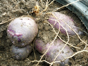 harvest blue potato