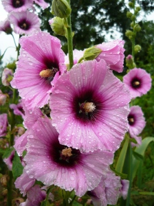 Hollyhock Halo