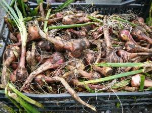 harvest shallots