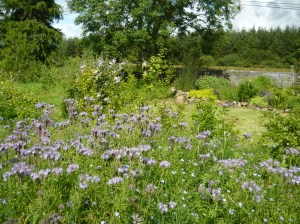 flax and phacelia