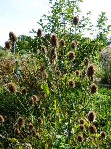 wildlife september teasel