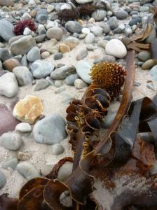 Achill island kelp