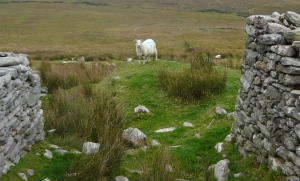 Achill island sheep