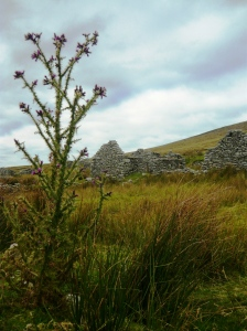 Achill island thistle