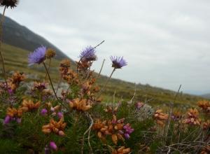 Achill island flora