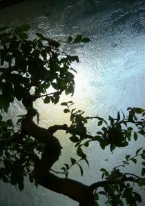 bonsai 061