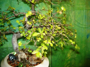 bonsai and pollination 013