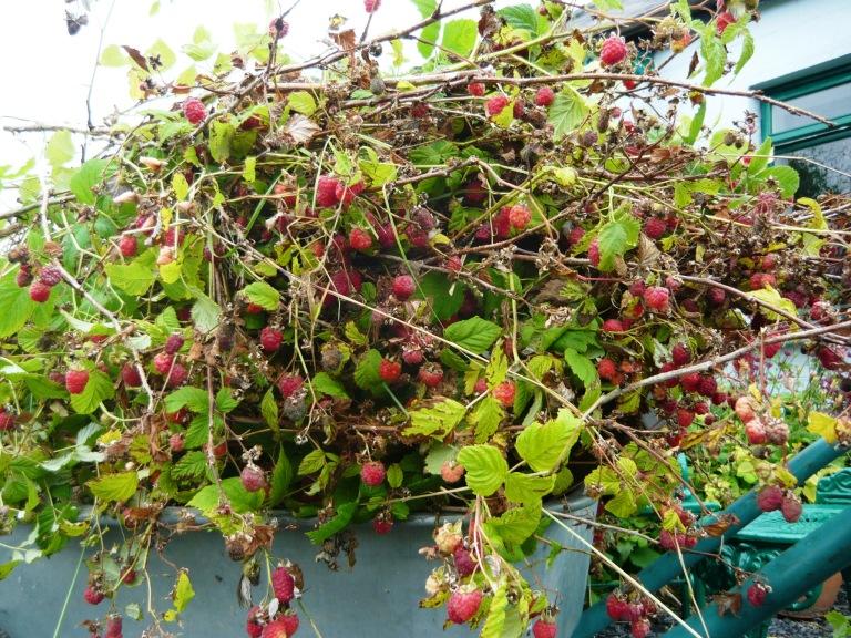 raspberries 013