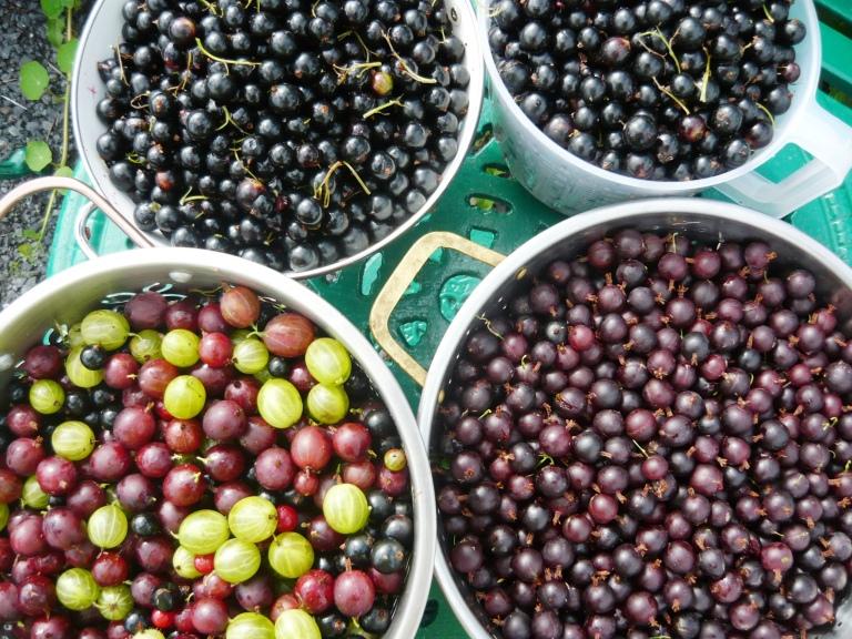berries 009