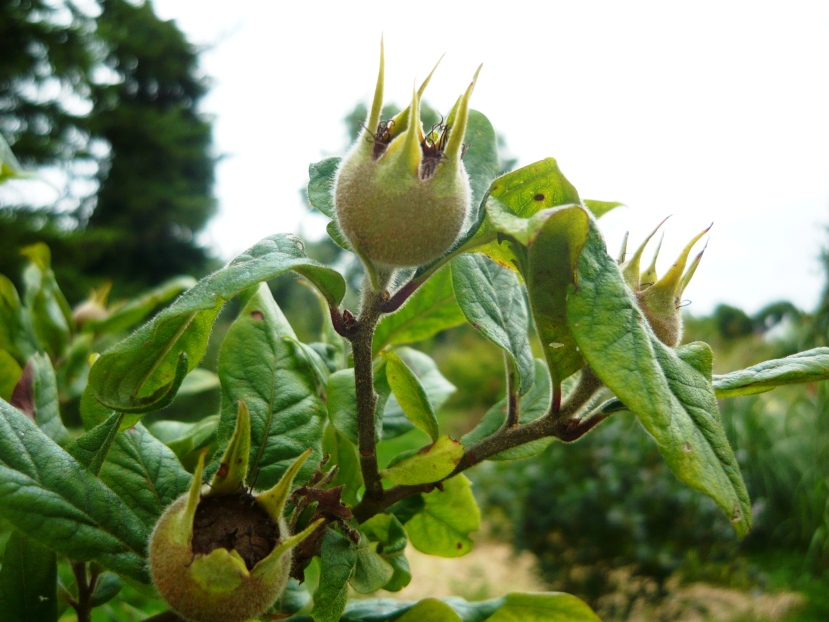 Unusual fruiting trees and shrubs.