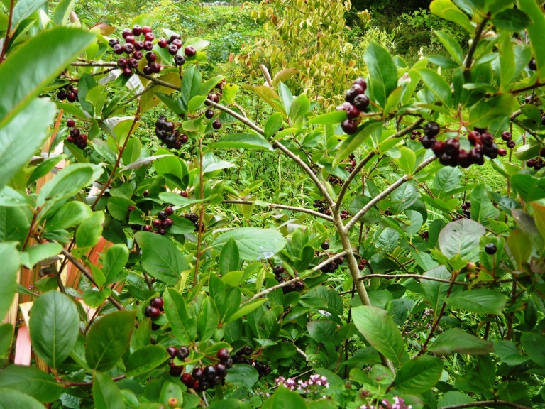 fruit trees 006