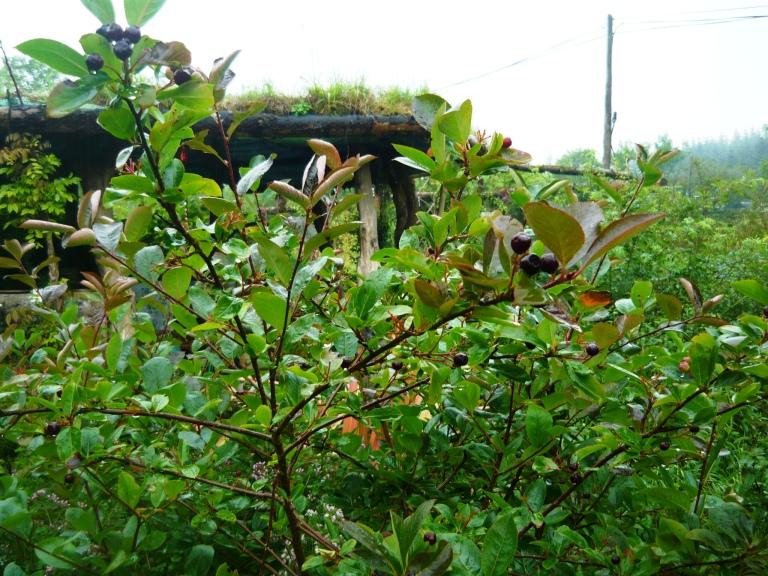 fruit trees 051