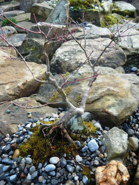 bonsai february 001