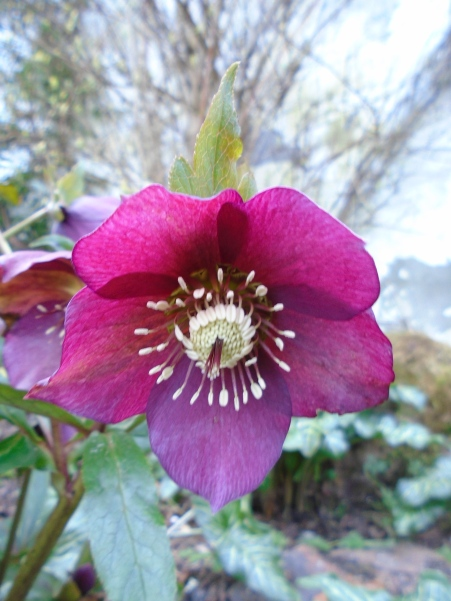 hellebore and float 005