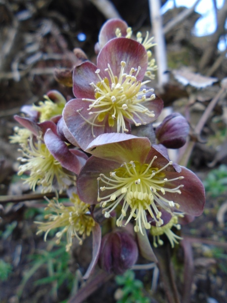 hellebore and float 015
