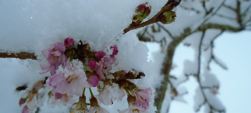 Cherry blossom in snow.